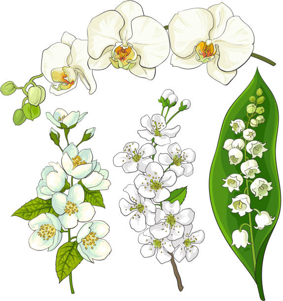 White flowers - lily of the valley, orchid, apple, cherry blossom White flower set - lily of the valley, orchid, apple and cherry blossom, isolated sketch vector illustration. Realistic hand drawing of white flowers, lily of the valley, orchid, apple, cherry blossom apple blossom stock illustrations
