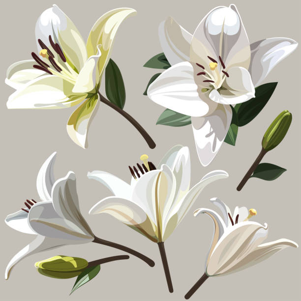 White flowers of Lily on light background. Images for your design projects lily stock illustrations