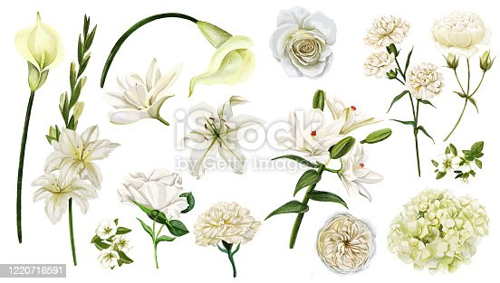 White flowers set, watercolor hand drawn vector illustration