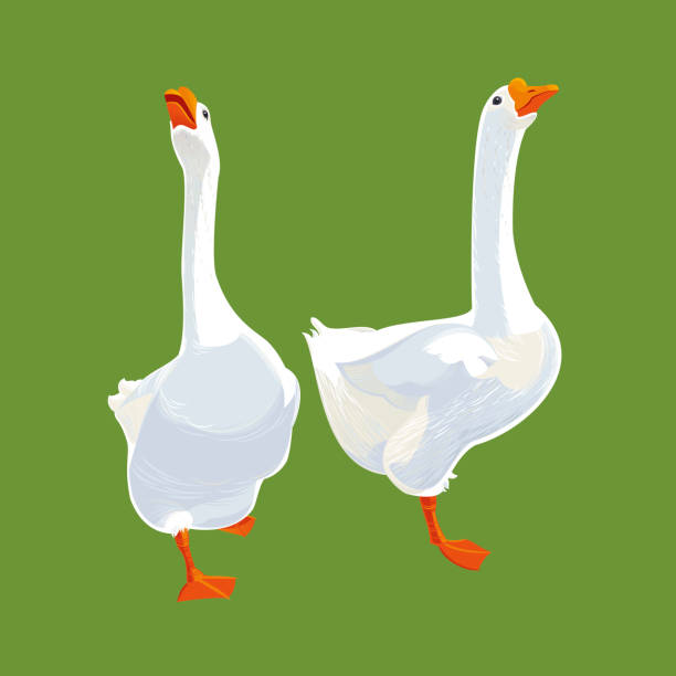 White Geese White Geese. Vector illustration. snow goose stock illustrations