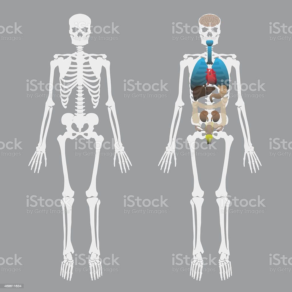 Blanco Los Huesos Esqueleto Humano Con órganos Humanos Eps10 - Arte ...