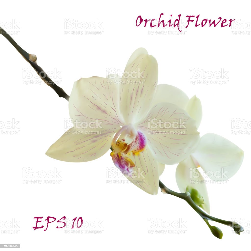 White Isolated Orchid Flower Stock Vector Art 662863920 Istock