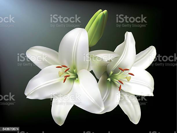 White lilies vector id543670674?b=1&k=6&m=543670674&s=612x612&h=nqmlhdyt5tdtlwzurxiq1xjmlcz6w6tdhiscp544pom=