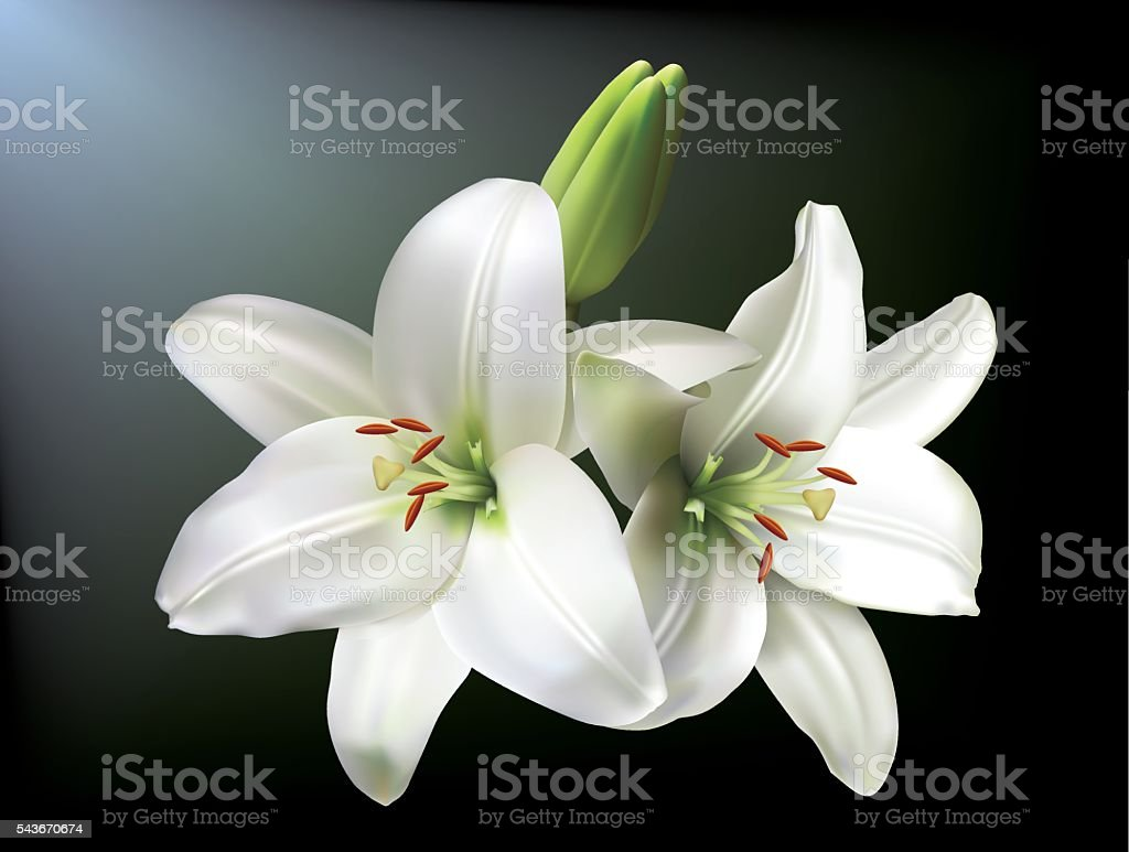 White lilies vector art illustration