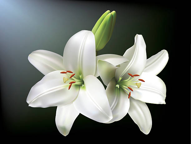 White lilies White lilies isolated on a dark background. lily stock illustrations