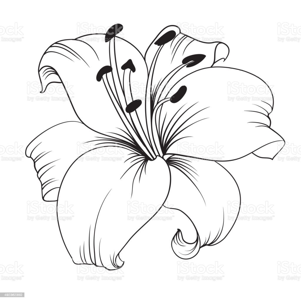 Line Art Lily : White lily stock vector art more images of