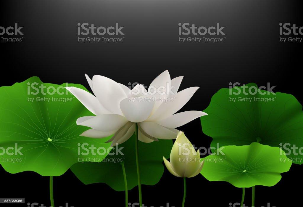 Carta Da Parati Fiori Di Loto : Fiore di loto bianco con foglie verdi su sfondo nero immagini