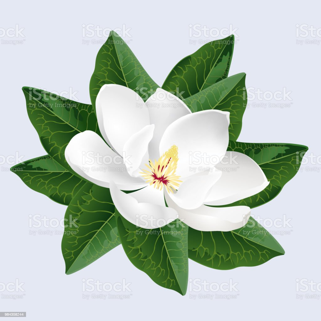 White Magnolia Flower Realistic Vector Illustration Stock Vector Art More Images Of Art