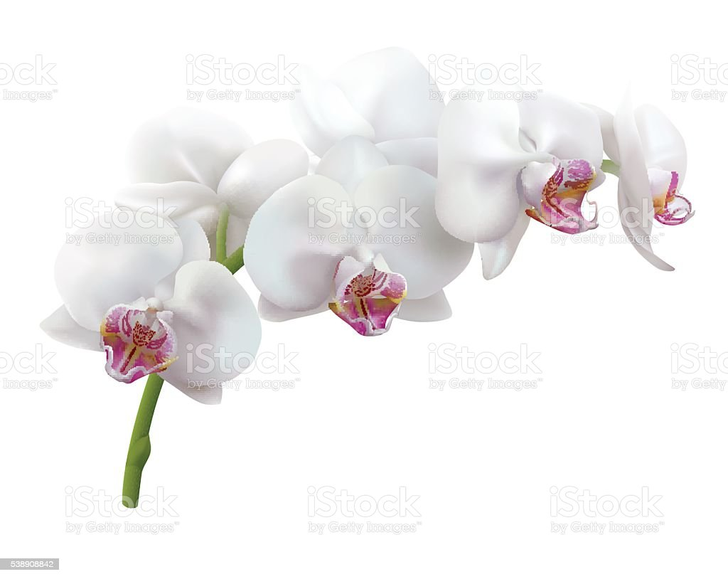 White Orchid Flowers On White Background Stock Vector Art More