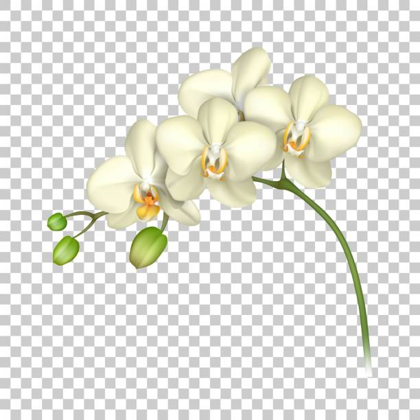 White orchid realistic transparent background White orchid realistic transparent background. Tropical exotic flower. Vector illustration orchid stock illustrations