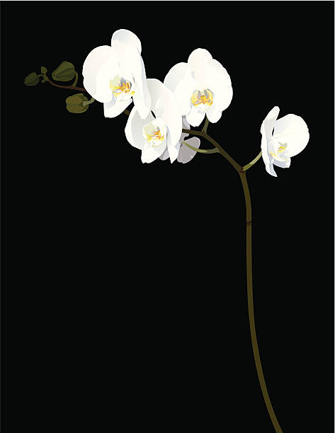 White Orchids in Bloom  orchid stock illustrations
