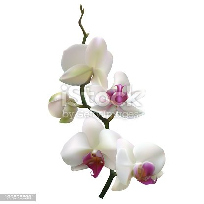 White orchids. Tropical flowers. Tropical background. Petals. Floral background. Isolated.