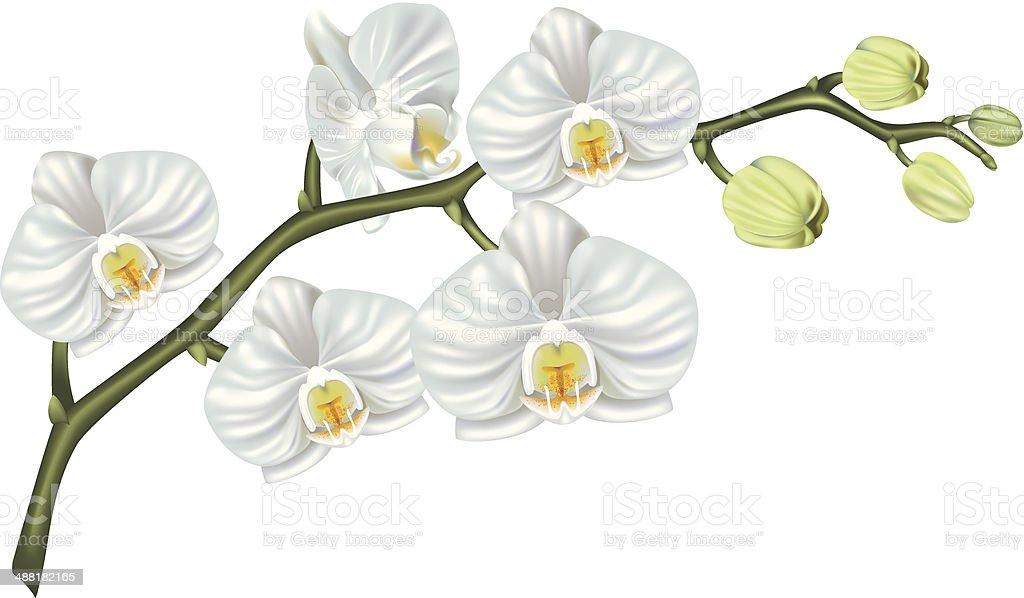 White Phalaenopsis Orchid vector art illustration