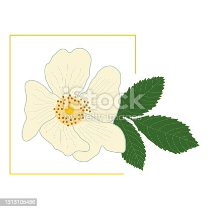 istock White rose hip flower with green leaf in a yellow frame. Delicate petals of a blossoming dog-rose bud. Vector, flat style. Spring and summer illustrations. Medicinal plant, healthy tasty rosehip tea. 1313105486
