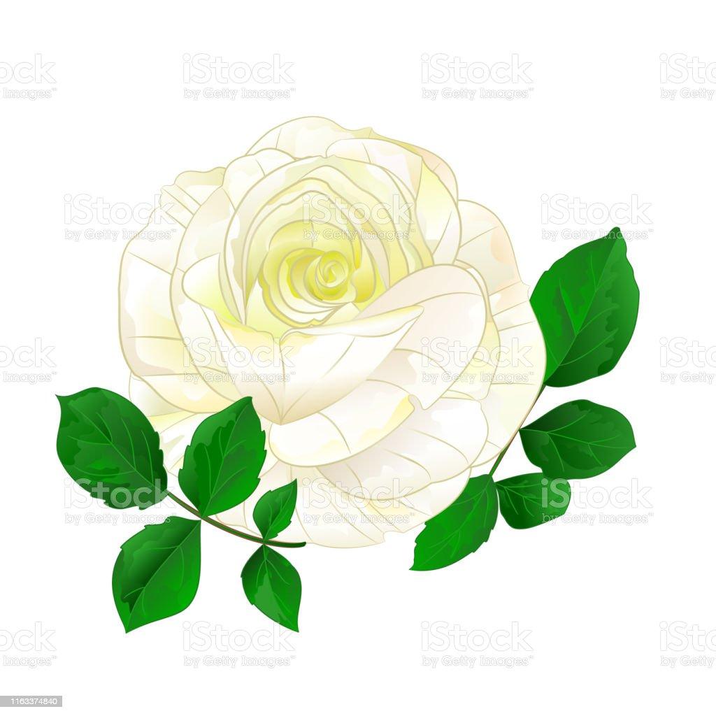 Tige Simple De Rose Blanche Avec Des Feuilles Vintage Sur Un