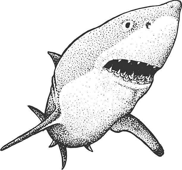 White Shark Engraving Illustration White Shark - Classic Drawn Ink Illustration Isolated on White Background great white shark stock illustrations