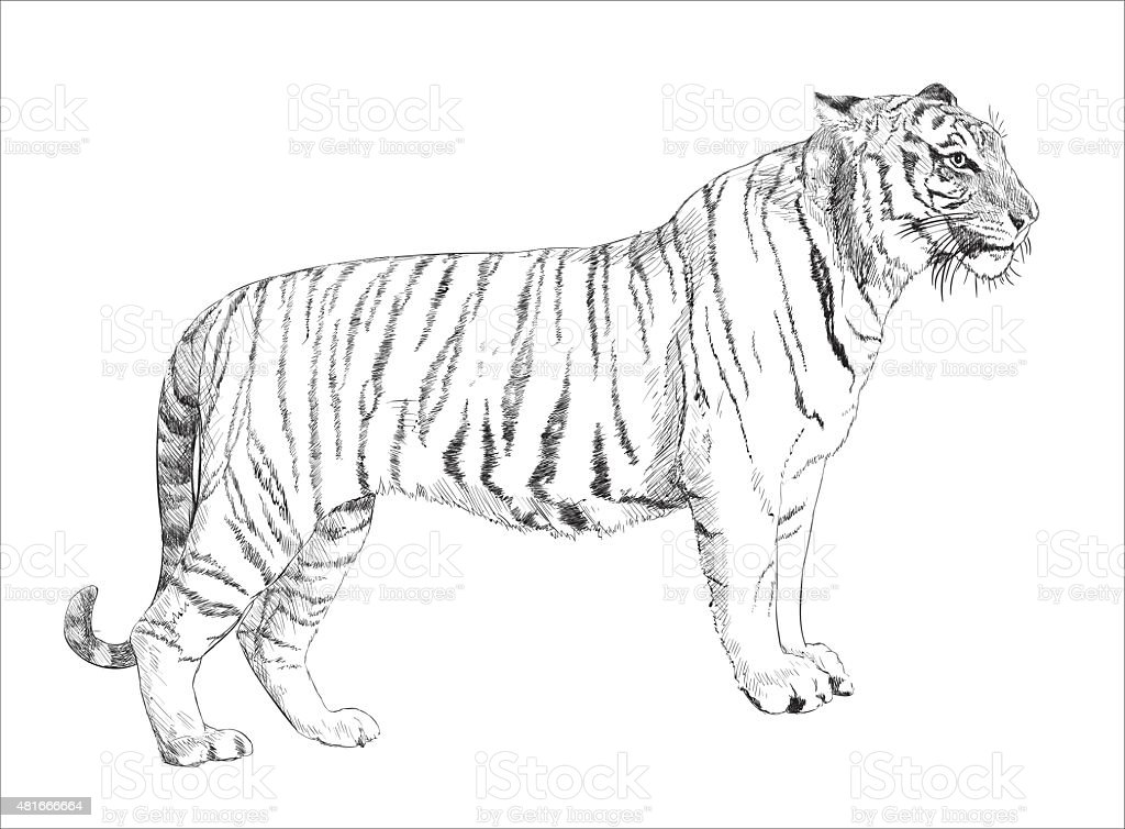 Black and white tiger drawing