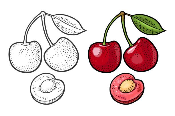Whole and half cherry berry with leaf. Vector engraving Whole and half cherry berry with seed and leaf. Vector black vintage engraving illustration for menu, poster. Isolated on white background cherry stock illustrations
