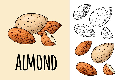 Whole and half half almonds nuts with and without shell. Vector engraving