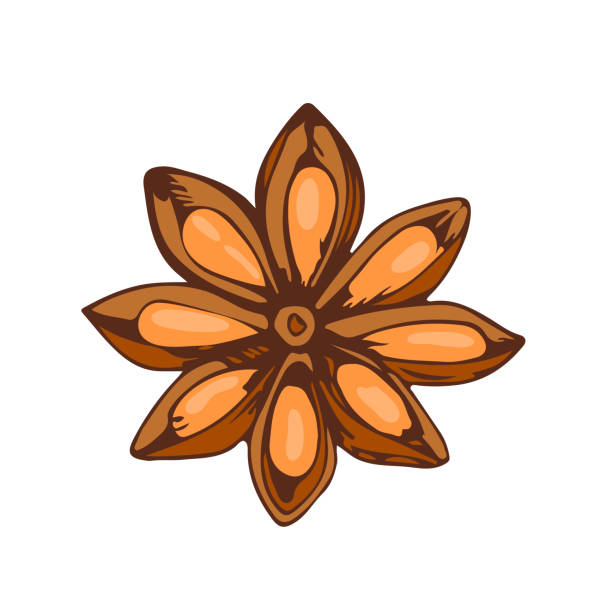 Whole star anise isolated on white background hand drawn aromatic spice food and seasoning aniseed aroma condiment vector illustration vector art illustration