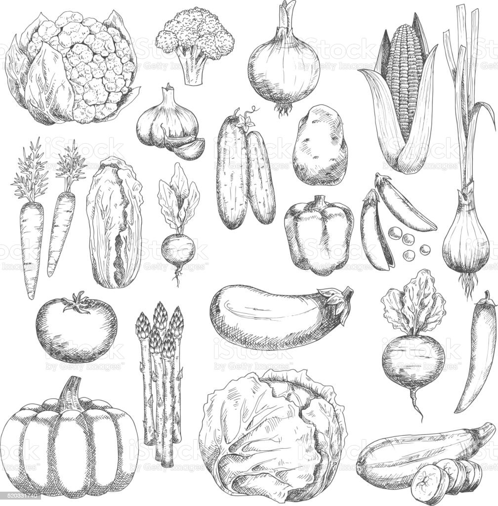Wholesome farm vegetables sketches set vector art illustration