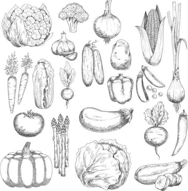 Wholesome farm vegetables sketches set Organic farm fresh broccoli and corn, pea and onion, eggplant and tomato, carrot and beet, cayenne and bell pepper, cabbage and pumpkin, garlic and cucumber, potato and chinese cabbage, cauliflower and zucchini, radish, asparagus and scallion vegetables sketches squash vegetable stock illustrations