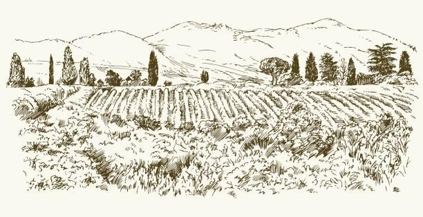 bildbanksillustrationer, clip art samt tecknat material och ikoner med bred utsikt över vingården. - vinodling