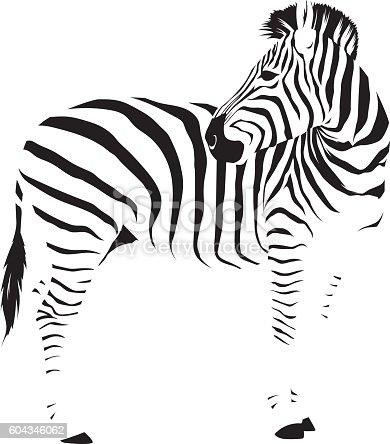 istock Wild African Zebra 604346062