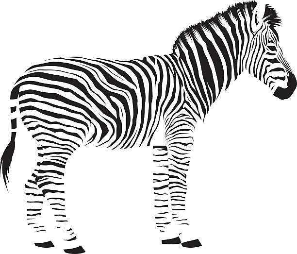 wilde afrikanische zebra - zebras stock-grafiken, -clipart, -cartoons und -symbole