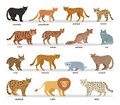 Wild and dometic cats set. Collection of cat family with tiger, leopard, panther and lion. Isolated flat vector illustration