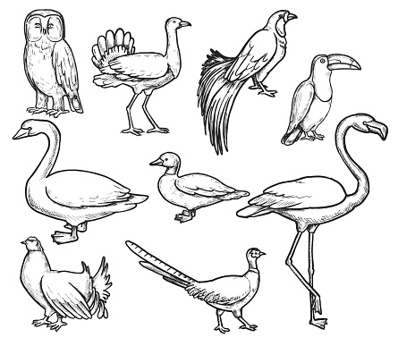 Vector animals doodles. Wild animals illustrations. All objects in groups and easy to edit. Swan, duck, bird of paradise, pheasant, black grouse, toucan, flamingo, owl, bustard.