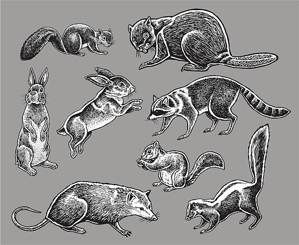 """Wild Animals - Squirrel, Rabbit, Skunk, Raccoon Pen and ink illustration of seven Wild Animals - Squirrel, Rabbit, Skunk, Raccoon, Opossum, Beaver. Check out my """"Vectors Animals & Insects"""" light box for more. raccoon stock illustrations"""
