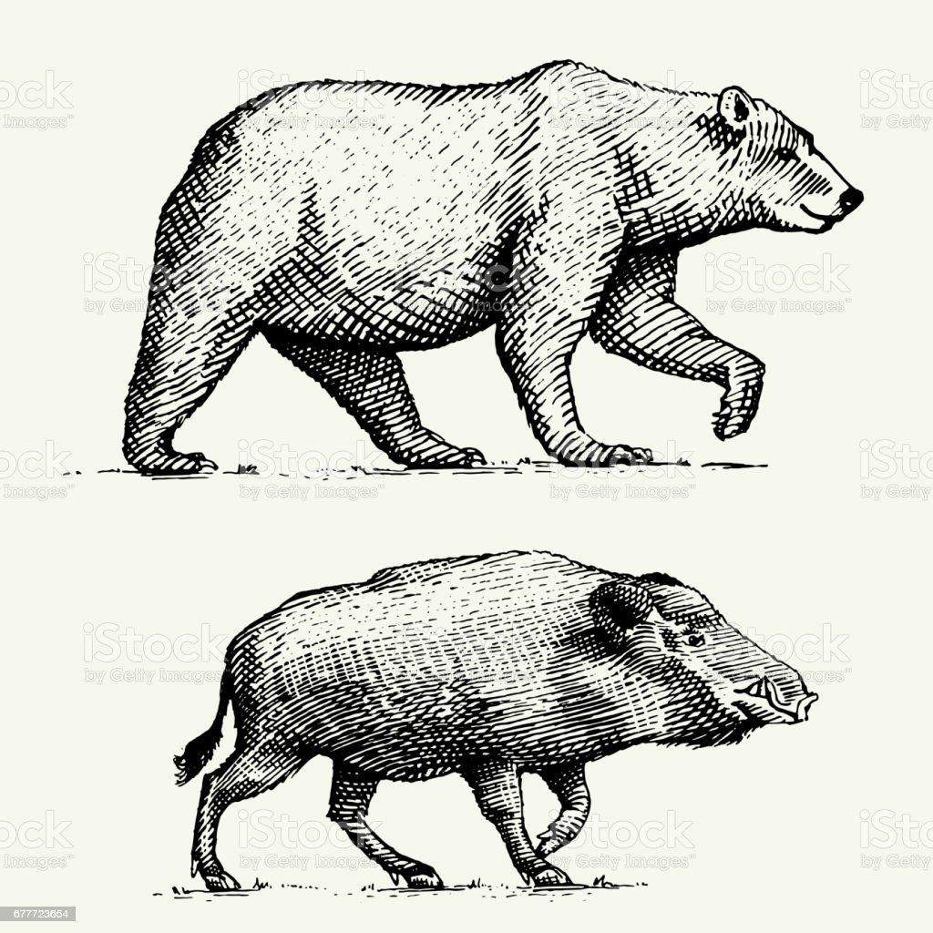 ブタやイノシシ野生熊グリズリー刻まれた古いスケッチ スタイル