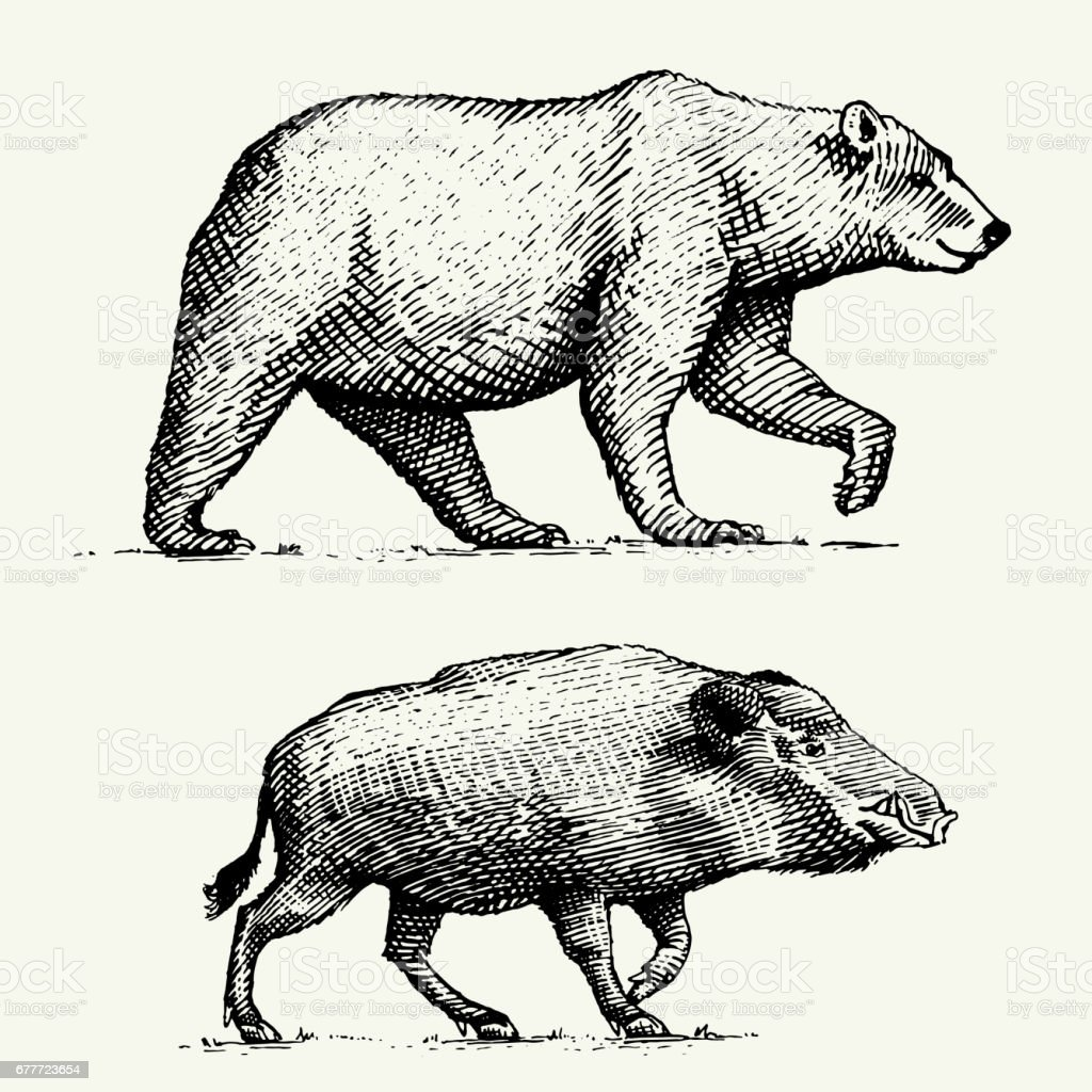 wild Bear grizzly and boar or pig engraved hand drawn in old sketch style, vintage animals vector art illustration