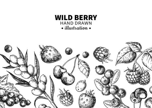 illustrazioni stock, clip art, cartoni animati e icone di tendenza di wild berry drawing. hand drawn vintage vector frame. summer fruit set - fragole