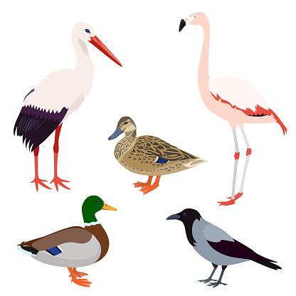 Wild birds set isolated on white background