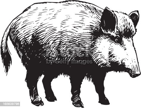An a vector illustration of wild boar.