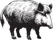 An a vector illustration of wild boar.