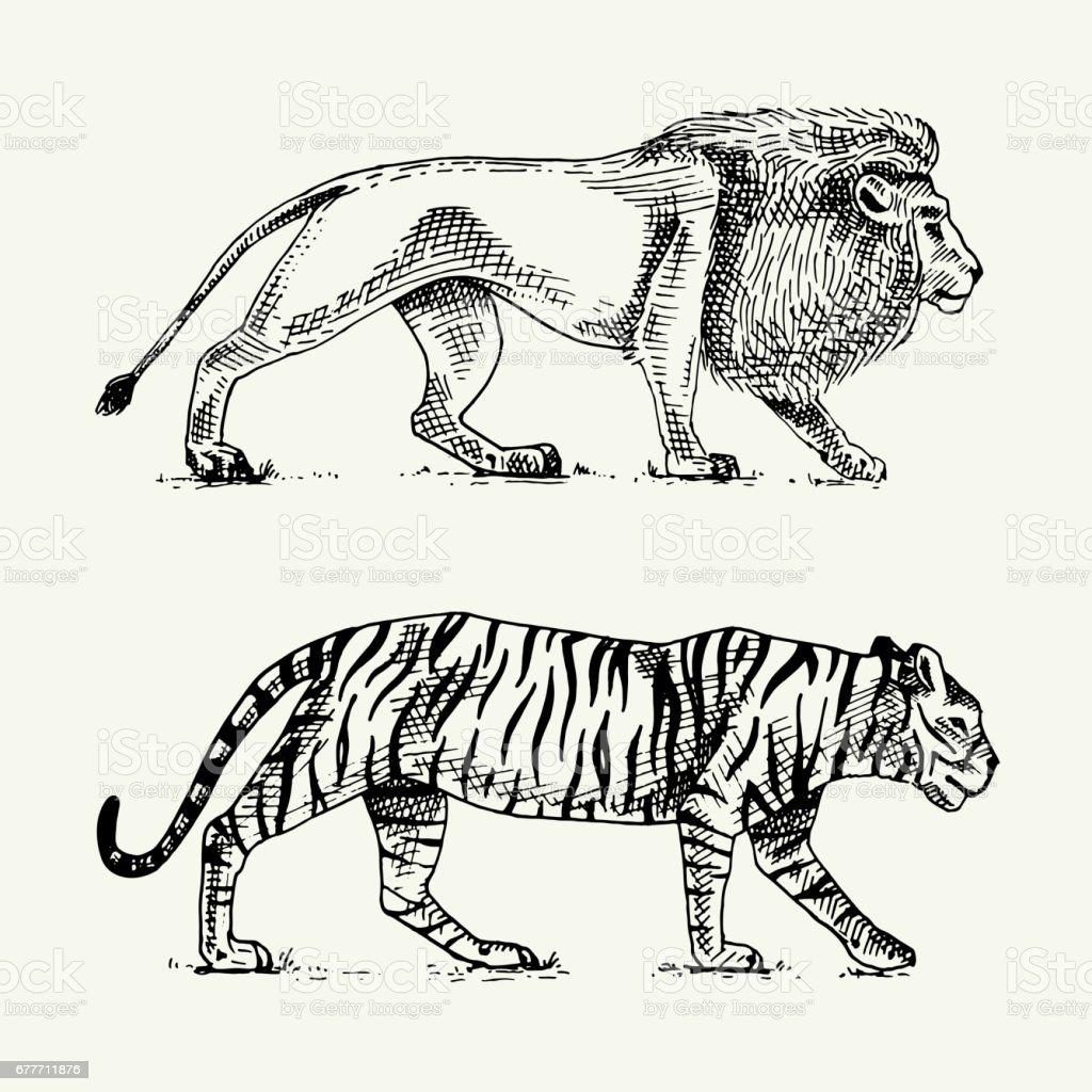 野生の猫セットライオンとトラ刻まれた古いスケッチ スタイルビンテージ