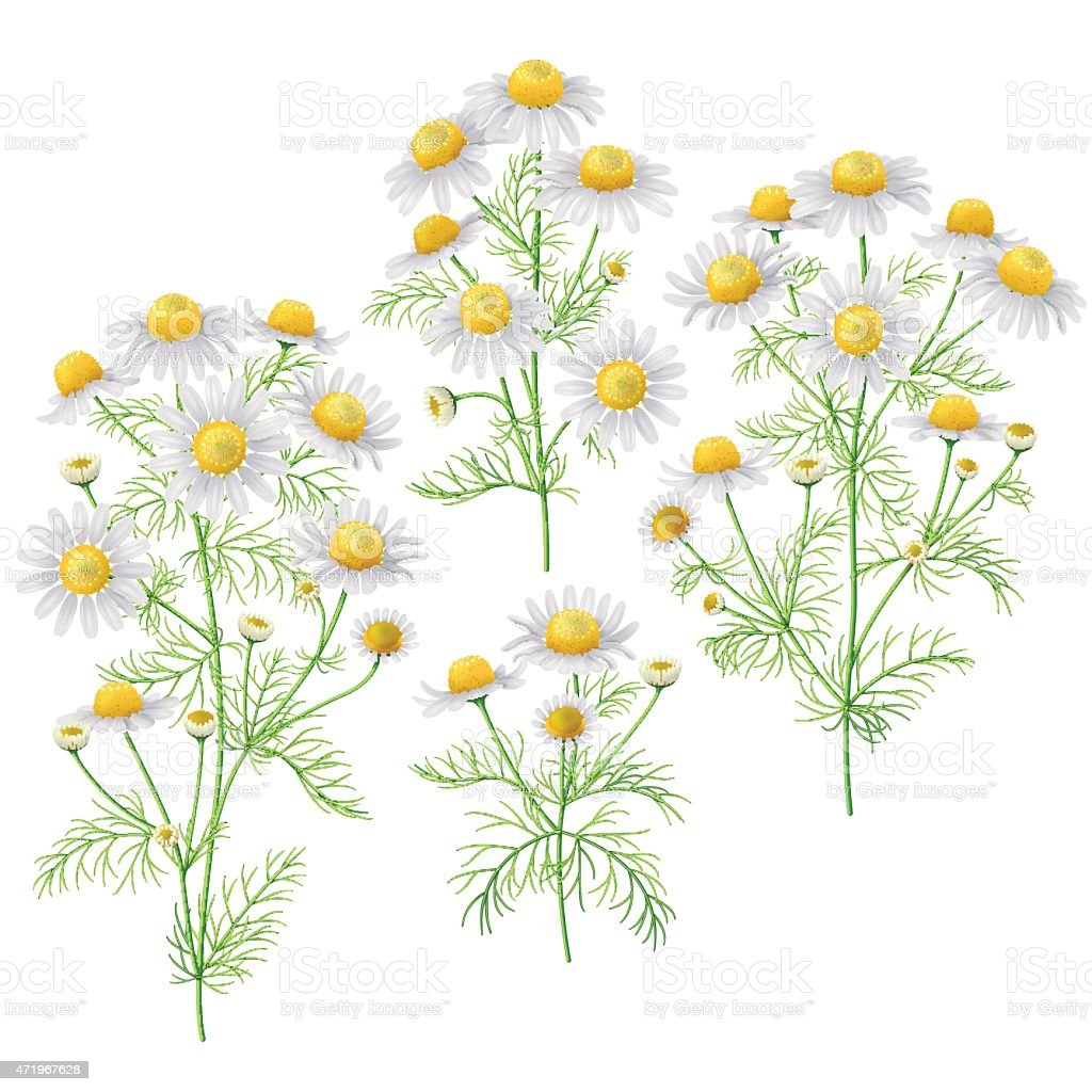 Wild chamomile bunches set. vector art illustration