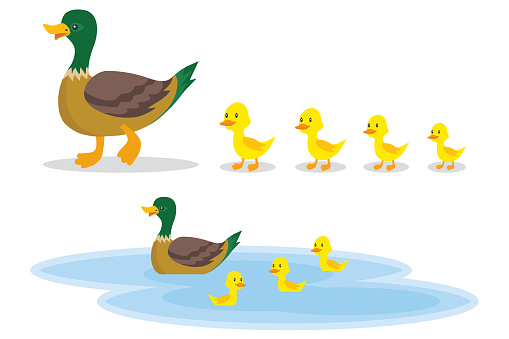 A wild duck with little ducks walks to the pond. A duck with small ducklings swims on the water. Cartoon illustration of a duck.