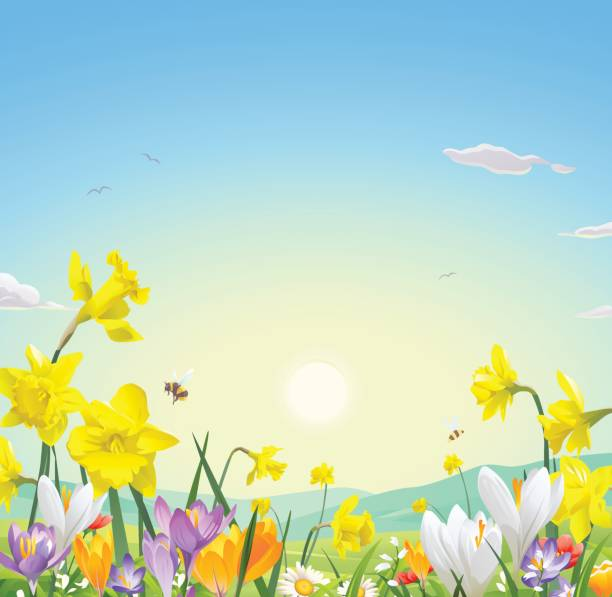 Wild Flower Field Vector illustration of a meadow full of beautiful flowers, bees and bumblebees in spring or summer, in the morning. In the background the sun is rising over the hills. Illustration with space for text. daffodil stock illustrations