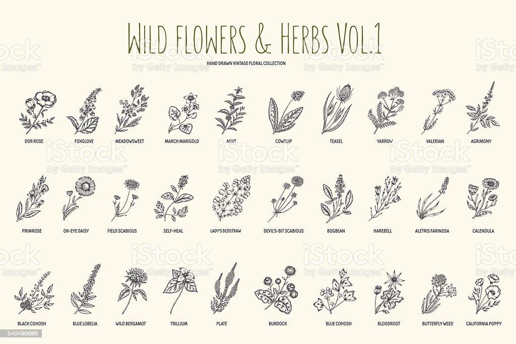 Flores silvestres y hierbas conjunto de dibujado a mano. Volumen 1. Vintage - ilustración de arte vectorial