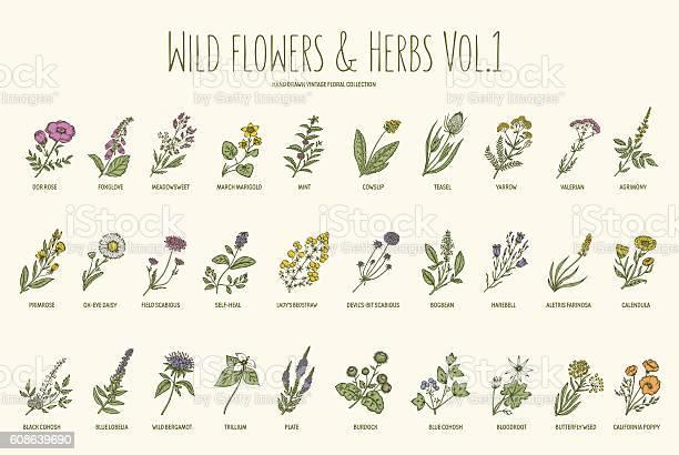 Wild flowers and herbs hand drawn set volume 1 vintage vector id608639690?b=1&k=6&m=608639690&s=612x612&h=cv0gl247q969 fxy9o0eg ac59kjh9pip wd6qpfnfc=