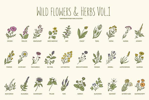 illustrazioni stock, clip art, cartoni animati e icone di tendenza di erbe e fiori selvatici set di disegnato a mano libera. volume 1. vintage - erboristeria