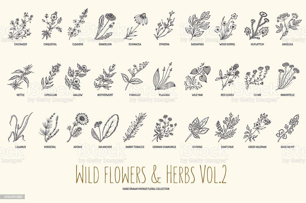 Flores silvestres y hierbas conjunto de dibujado a mano. Volumen 2. Vintage - ilustración de arte vectorial