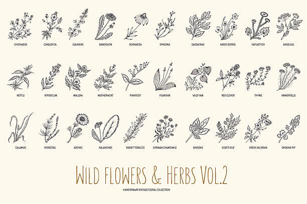 野生の花やハーブ手描きセット。ボリューム 2 ます。ビンテージ - 薬草点のイラスト素材/クリップアート素材/マンガ素材/アイコン素材