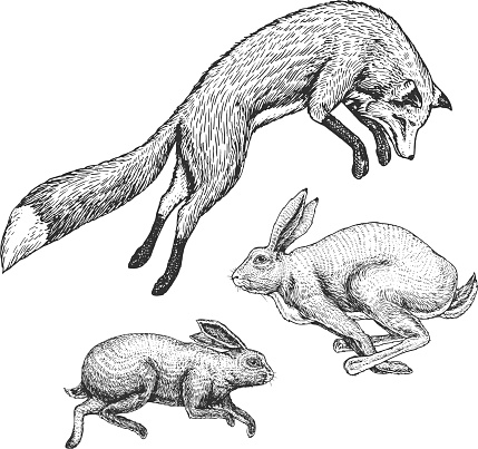 Wild forest animal jumping up. Soaring red fox and hare and rabbit. Food search concept. Vintage style. Engraved hand drawn sketch.
