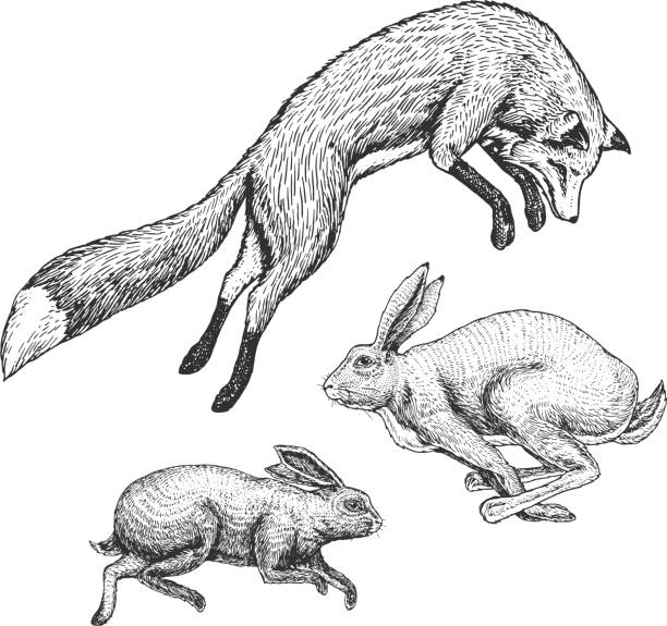 Wild forest animal jumping up. Soaring red fox and hare and rabbit. Food search concept. Vintage style. Engraved hand drawn sketch. Wild forest animal jumping up. Soaring red fox and hare and rabbit. Food search concept. Vintage style. Engraved hand drawn sketch fox stock illustrations