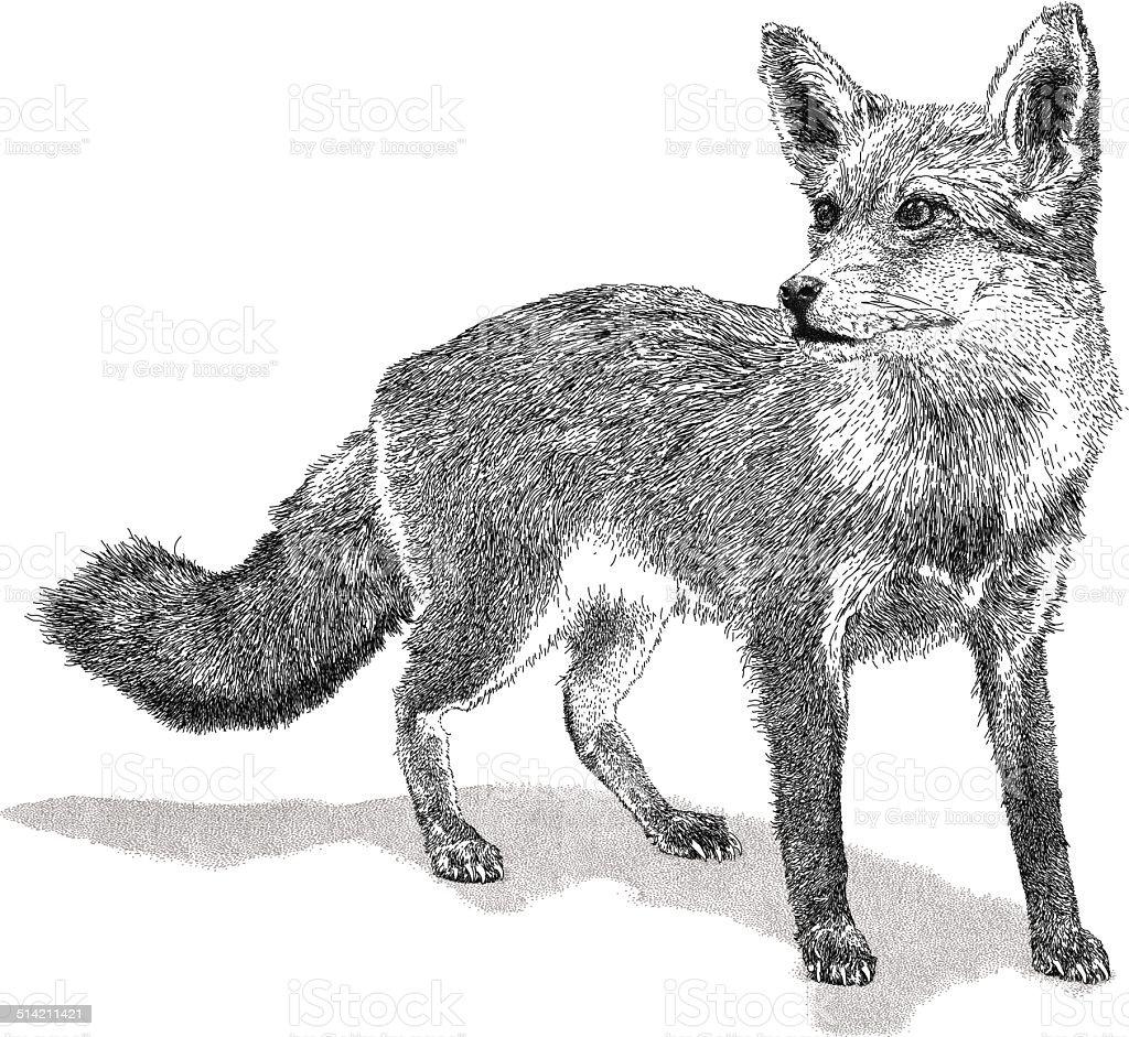 Wild Fox - ilustración de arte vectorial